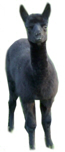 Alpaca Cria of Foxwood Farm